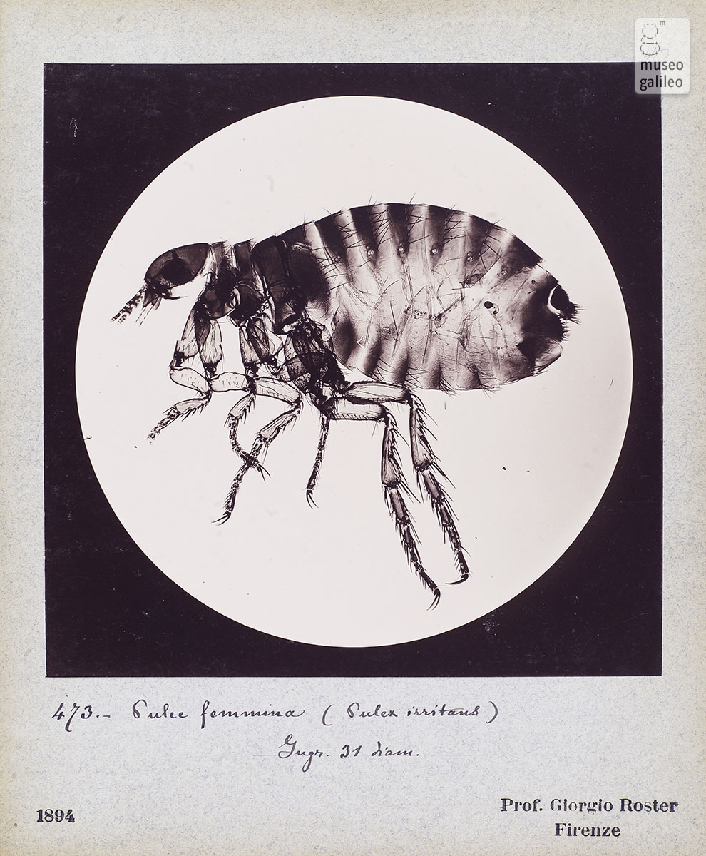 Photomicrography of a flea (G. Roster, 1893)